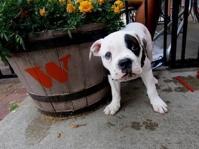 Dog waits for burger at The Works Oakville