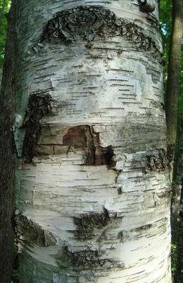 Oakville Birch Tree Trunk